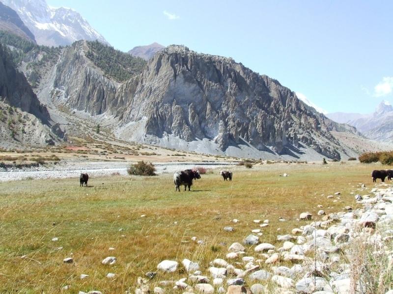 Yaks in the Himalayan Mountains