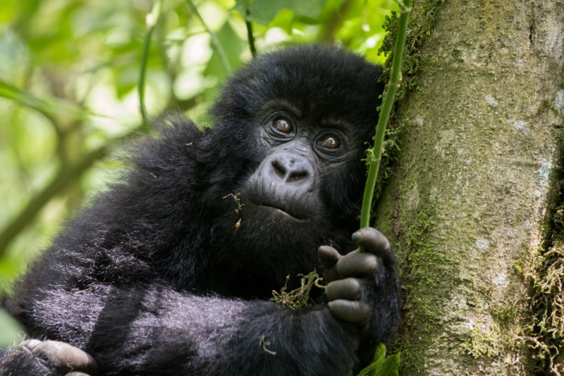 Mountain gorillas in Rwanda.