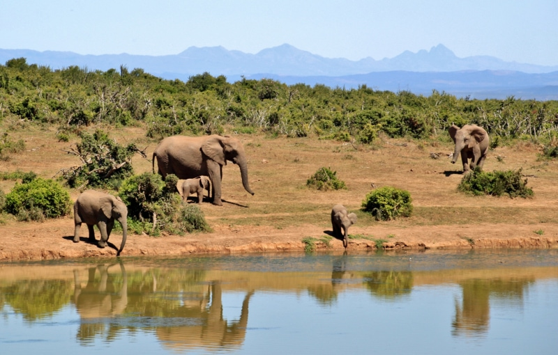 African elephants at a still body of water
