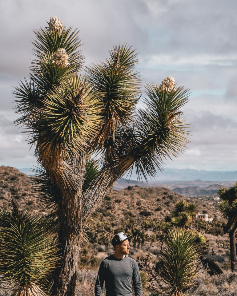 The famous Joshua Trees