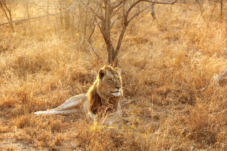 a lion sits in Kruger National Park, South Africa