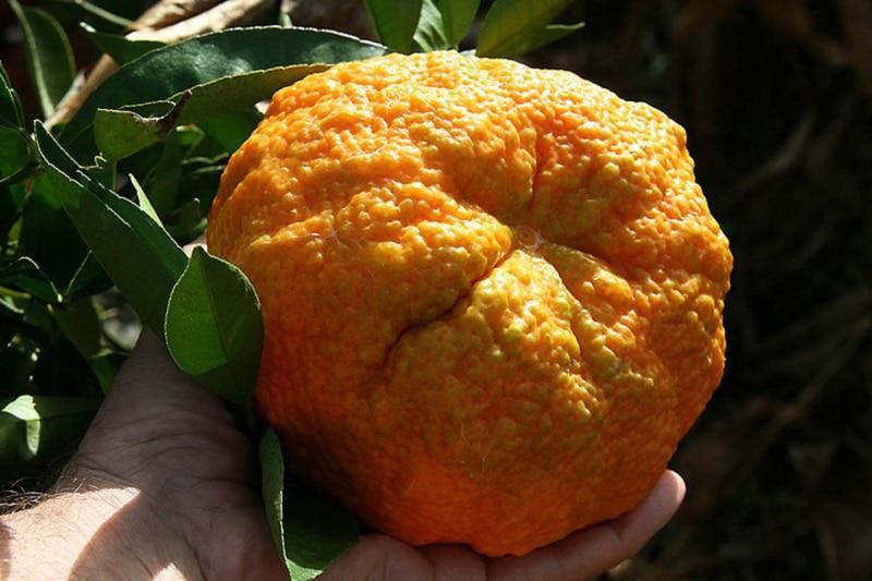 Jamican tangelo (ugli fruit)